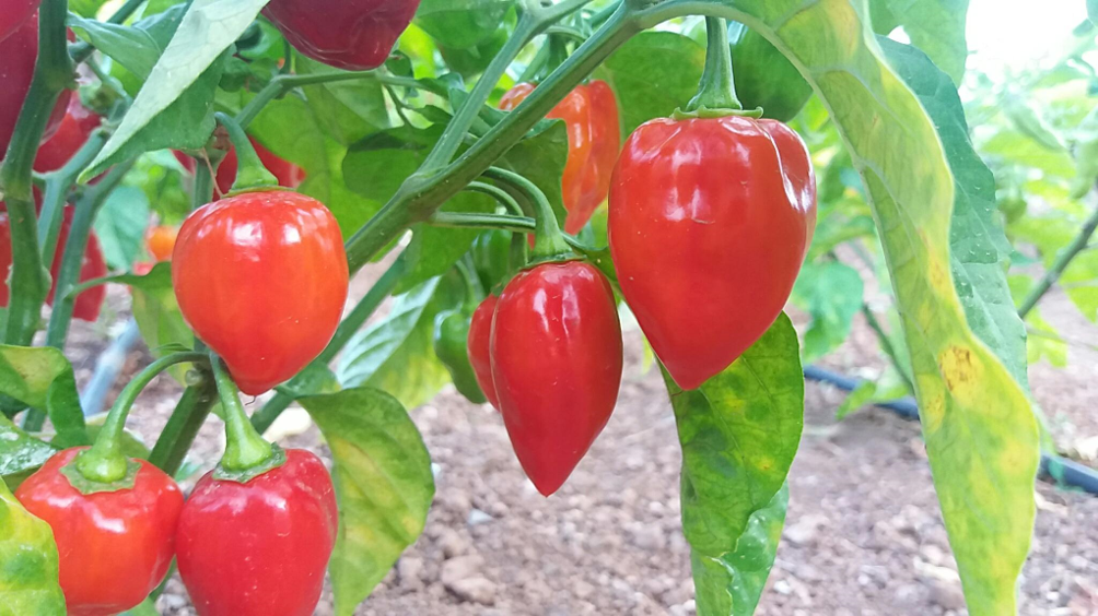 Lose Weight Quickly With Chili Peppers