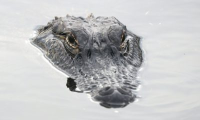 An alligator's head sticking out of the water.