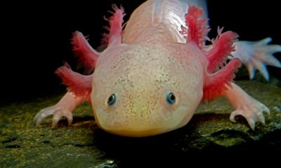 Axolotl Properly