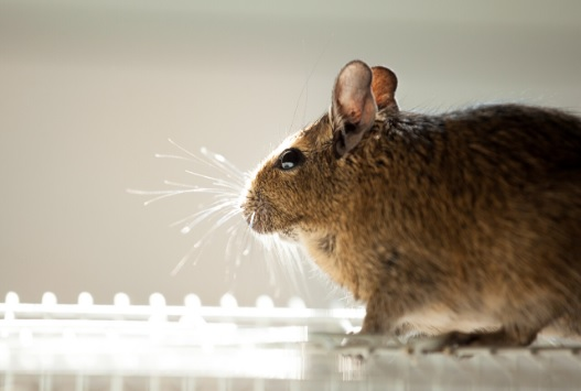 How to Get Rid of Mice in Walls and Attics?